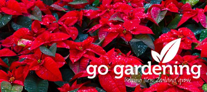 Go Gardening this December - poinsettias