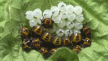 bmsb eggs nymphs
