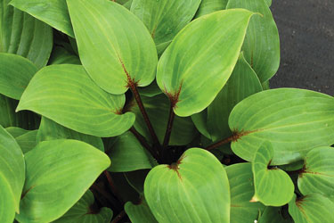 Hosta Purple Heart