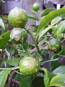 Verrucosis on lemons
