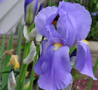 Intermediate Bearded Iris Indian Doll In Full Bloom November