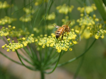 bee fennel