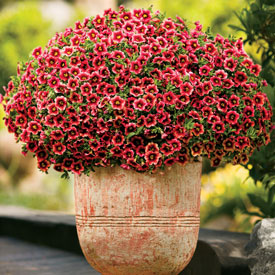 Superbells Calibrachoa Coral Cherry Punch