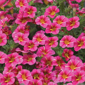 Calibrachoa Cherry Star
