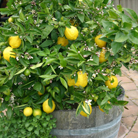 Grow citrus in pots