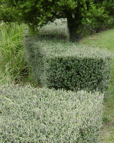 Hedge Bush Types