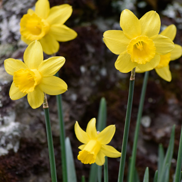 Spring bulbs A to Z