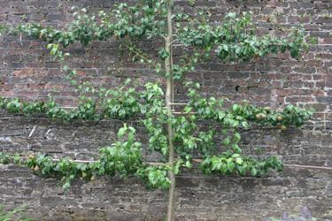 Triple Horizontal Espaliered Pear Tree
