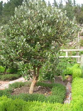 Images Of Feijoa Trees