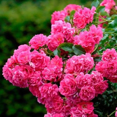New Flower Carpet Rose