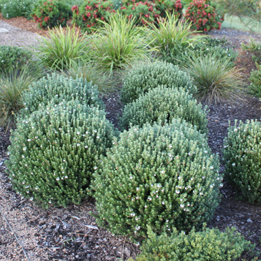 Go gardening helping new zealand grow garden for Easy care garden shrubs