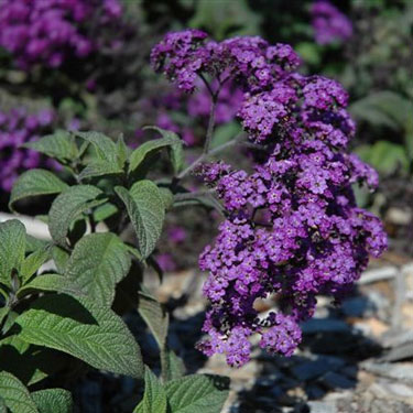 Heliotropium arborescens - common heliotrope - cherry pie