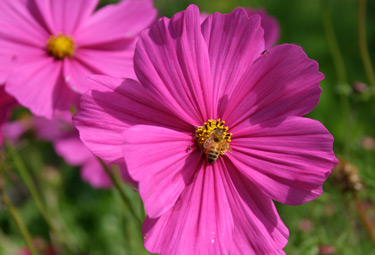 cosmos bees