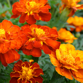 Flower Power - 20 ways to have fun with annuals