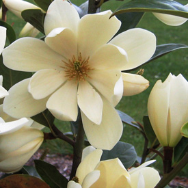 Go gardening helping new zealand grow garden inspiration tips every garden deserves at least one showy flowering tree or shrub to welcome the new season if the flowering of some seems all too brief generally the mightylinksfo