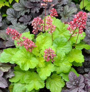 heuchera sweet tart