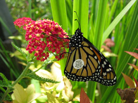 Achillea Red Baron and a tagged monarch