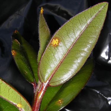 Myrtle Rust - information for gardeners and hikers