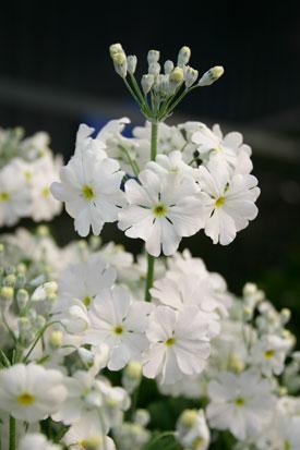 Go gardening helping new zealand grow garden inspiration tips primula malacoides mightylinksfo