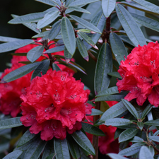 Growing azaleas and rhododendrons