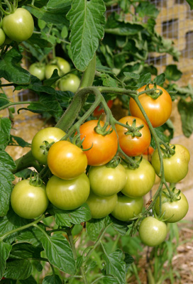 <p><strong>Tomato  tip</strong>: Late summer or about a month before the first expected   frost or before pulling plants  out, cut off top of your tomato plants   and remove flower clusters. This directs  energy into ripening existing   fruit instead of producing new fruit, which won't  have time to mature. </p>